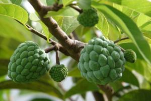 Сахарное яблоко - тропический фрукт в Тайланде