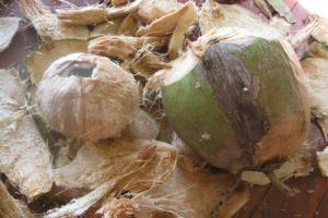 Так выглядит молодой кокос, если его разобрать