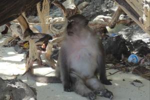 Обезьяна на пляже Monkey Beach на Пи Пи