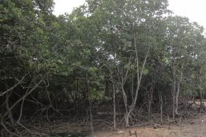 Мангровый лес на Ко Сирей