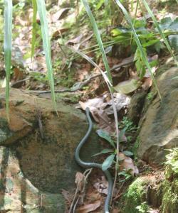 Змея встреченная на Пхи-Пхи
