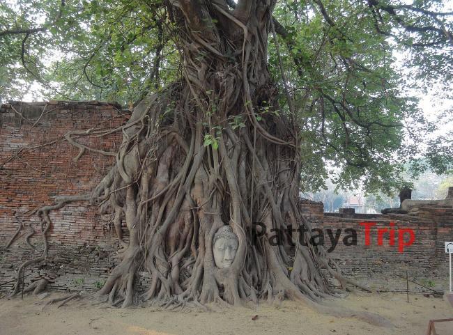 Wat Mahathat. Каменная голова Будды в основании дерева