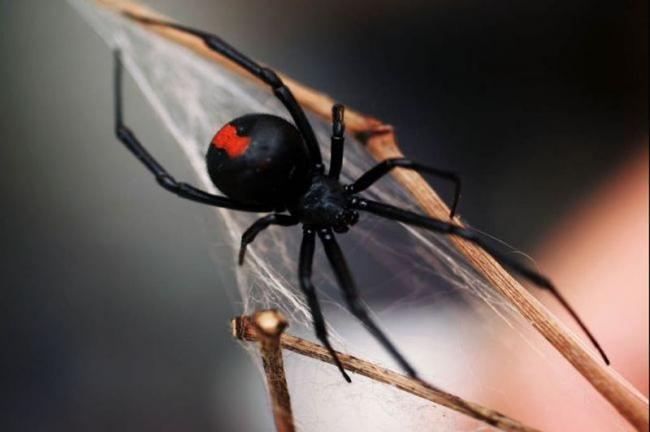 Паук Черная вдова - смертельная опасность в Таиланде