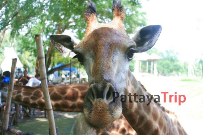 Здравствуйте, я жираф